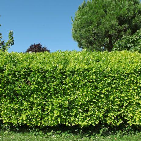 0f2cab74e49c7 Prunus laurocerasus - Mój Piękny Ogród - Ogrody ozdobne