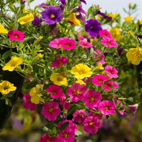 Calibrachoa Flowers Million Bells
