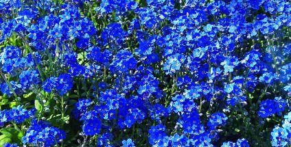Niezapominajki Kobierce Z Kwiatów Mój Piękny Ogród