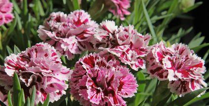 Gozdzik Dianthus Stanowisko Wymagania Pielegnacja Moj Piekny Ogrod Ogrody Ozdobne Rosliny Kwiaty