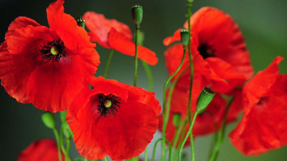 Maki - Mój Piękny Ogród - Ogrody ozdobne, Rośliny, Kwiaty