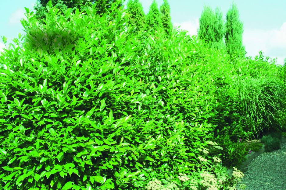 2098d42d43281 Wiecznie zielona laurowiśnia wschodnia - Mój Piękny Ogród - Ogrody ...