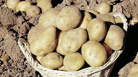 Uprawa Ziemniaków Kiedy Sadzić Ziemniaki Mój Piękny