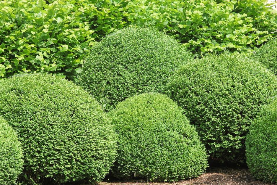 Bukszpan Zielona Ozdoba Ogrodu Strona 2 Mój Piękny Ogród