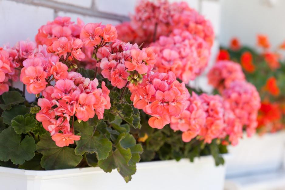 Pelargonie Znow Upiekszaja Balkony Moj Piekny Ogrod Ogrody Ozdobne Rosliny Kwiaty