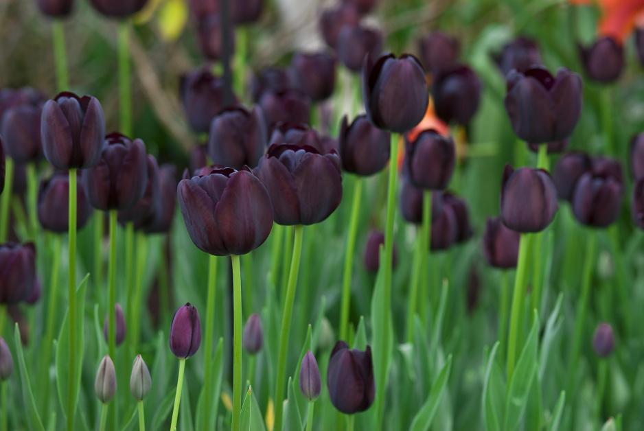 Tulipany W Ogrodzie Jesien To Najlepszy Czas Na Sadzenie Moj