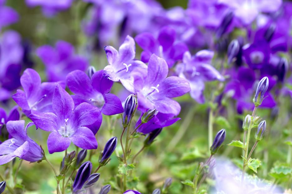 Dzwonek Campanula Pielegnacja Stanowisko Forma Wzrostu Moj Piekny Ogrod Ogrody Ozdobne Rosliny Kwiaty