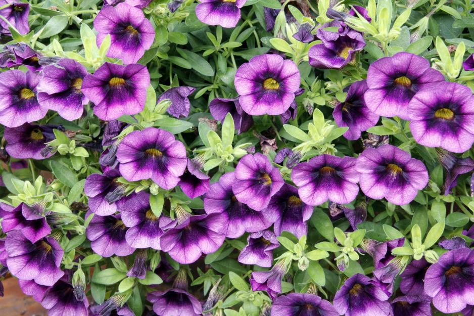 Kalibrachoa Calibrachoa Stanowisko Pielegnacja Zimowanie Moj Piekny Ogrod Ogrody Ozdobne Rosliny Kwiaty
