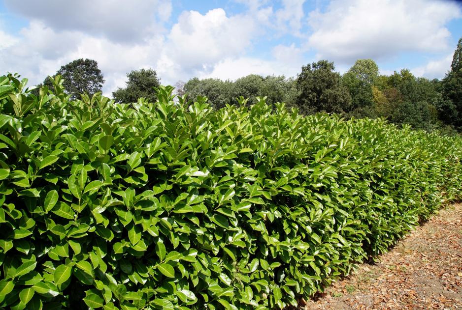 e170405ead665 Laurowiśnia Prunus laurocerasus (zdj.  Adobe Stock)
