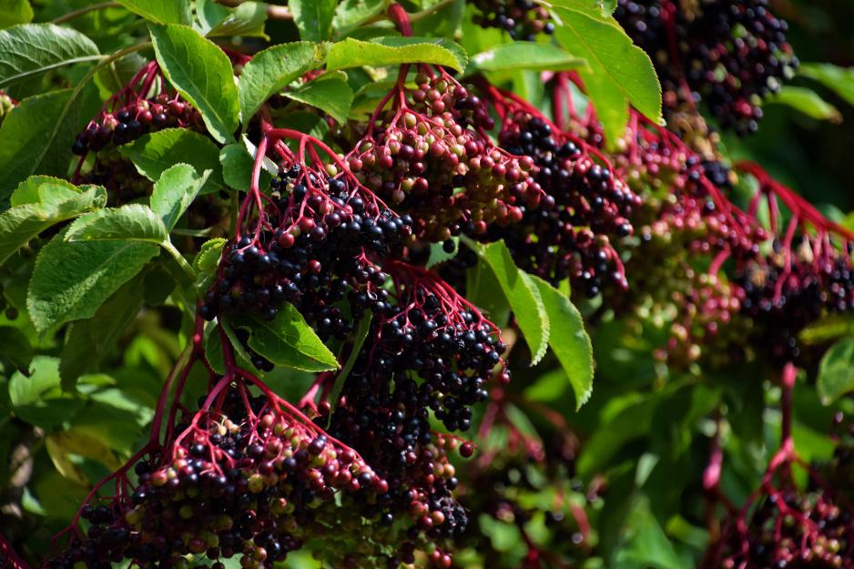 Czarny Bez Opis Uprawa I Zastosowanie Moj Piekny Ogrod Ogrody Ozdobne Rosliny Kwiaty