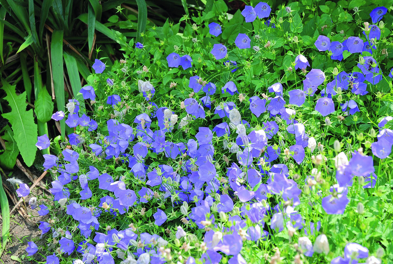Dzwonki Na Rabacie Mój Piękny Ogród Ogrody Ozdobne