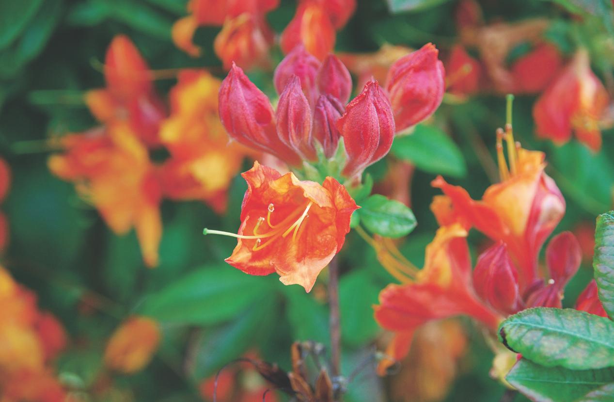 Rosliny Kwasolubne Moj Piekny Ogrod Ogrody Ozdobne Rosliny Kwiaty