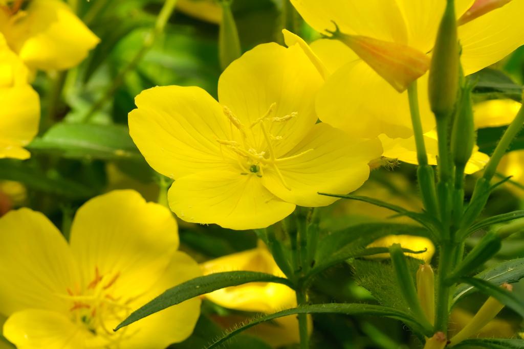 Rosliny Na Dobranoc Moj Piekny Ogrod Ogrody Ozdobne Rosliny Kwiaty