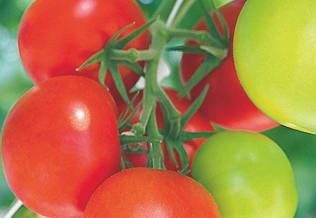 Pomidory Koktajlowe Z Doniczek Uprawa W Domu Mój Piękny