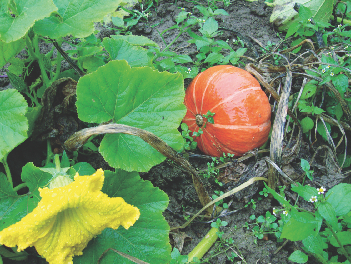Uprawa Dyni Dynia W Warzywniku Mój Piękny Ogród Ogrody