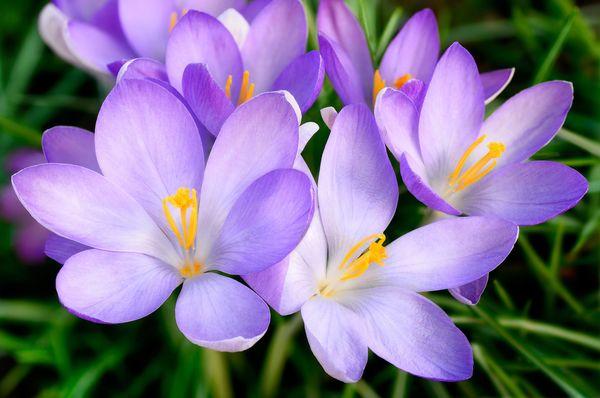 Jesienne Krokusy Mój Piękny Ogród Ogrody Ozdobne Rośliny Kwiaty