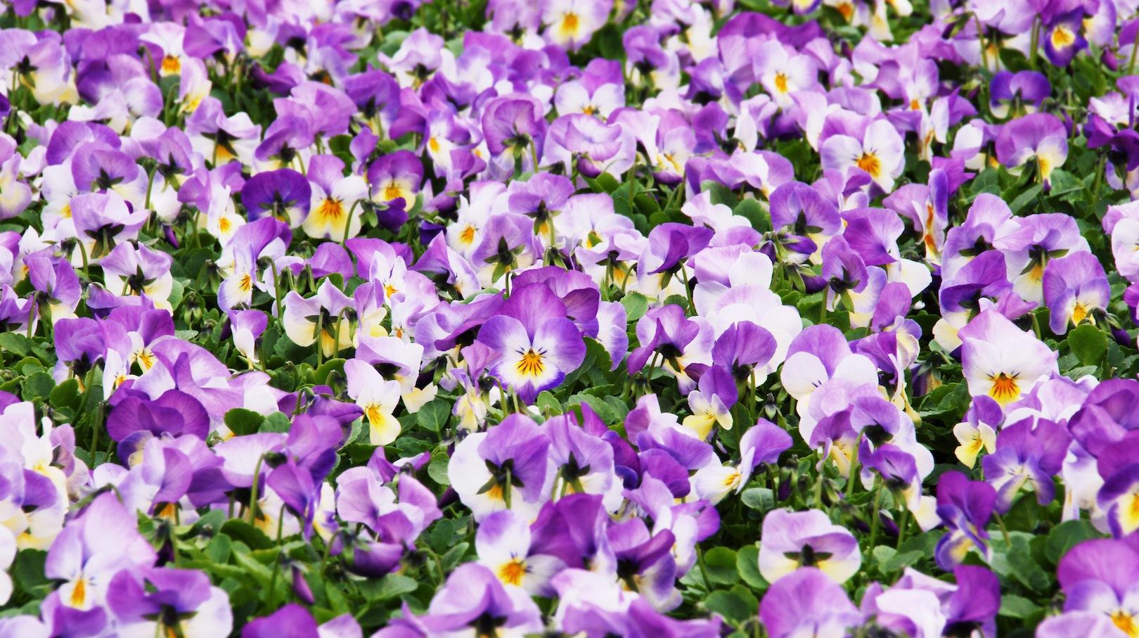 Wiosenne Fiołki Rogate Mój Piękny Ogród Ogrody Ozdobne