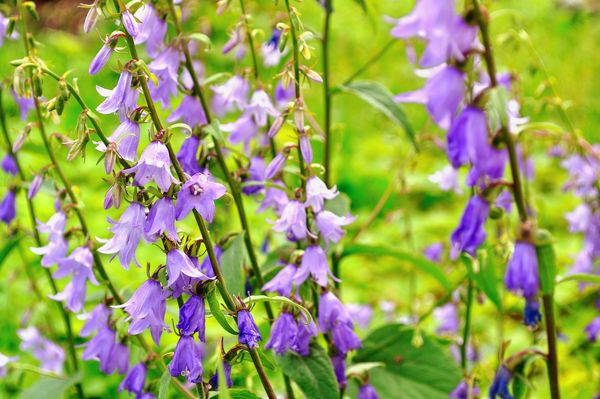 Kwitnace Wiosna Dzwonki Moj Piekny Ogrod Ogrody Ozdobne Rosliny Kwiaty