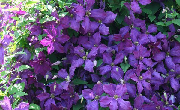 Rośliny Pnące Bez Tajemnic Mój Piękny Ogród Ogrody Ozdobne