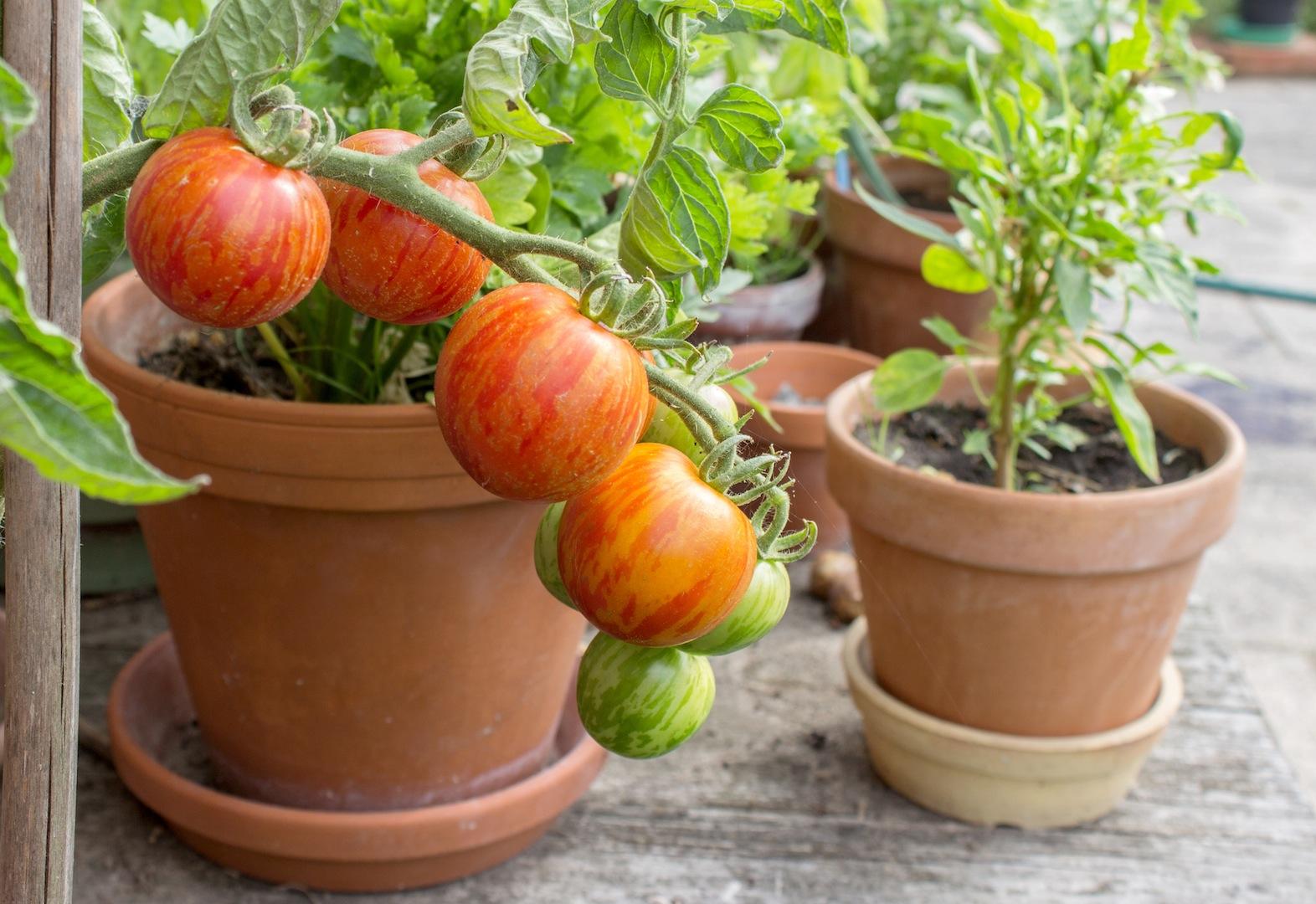 Pomidory W Donicach Mój Piękny Ogród Ogrody Ozdobne
