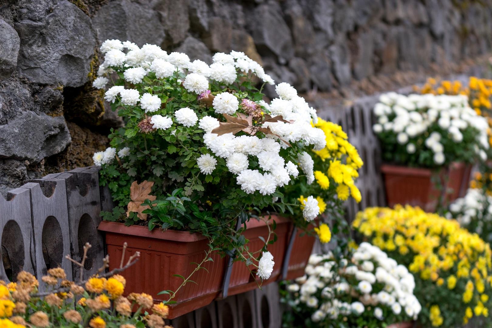 Praktyczny Ogrodnik Rozmnażamy Chryzantemy Mój Piękny