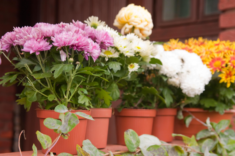 Złocisty Plener Z Chryzantemami Mój Piękny Ogród Ogrody