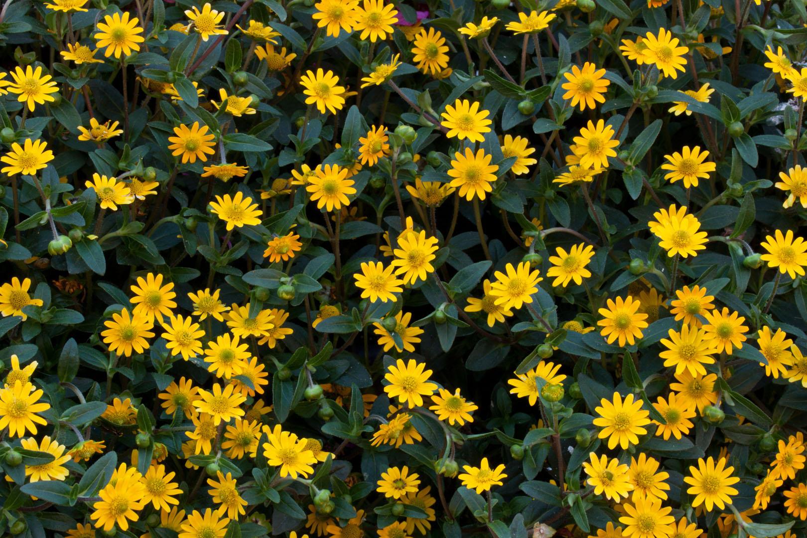 Polegnatka Rozeslana Sanvitalia Procumbens Pielegnacja Moj Piekny Ogrod Ogrody Ozdobne Rosliny Kwiaty