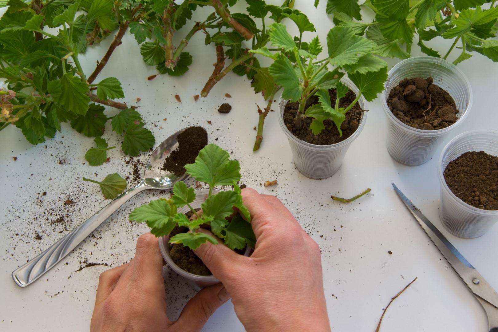 Stymulatory ukorzeniania - Mój Piękny Ogród - Ogrody ozdobne, Rośliny,  Kwiaty