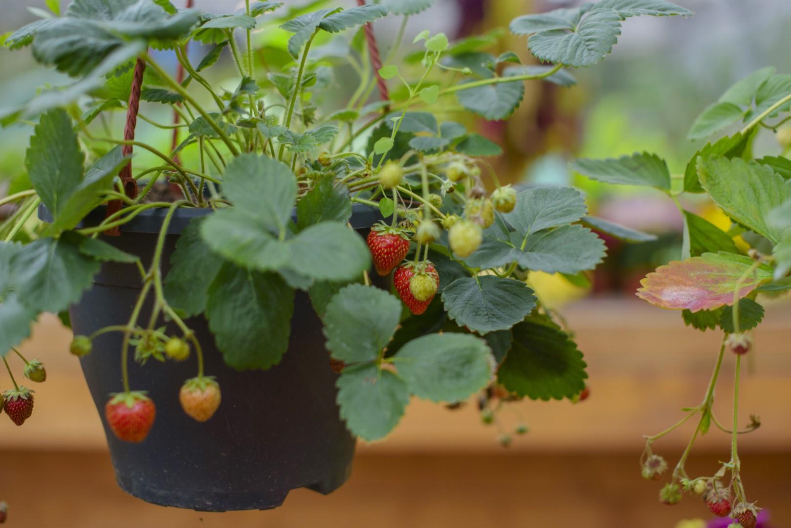 Tak Uprawiamy Truskawki Z Doniczki Mój Piękny Ogród