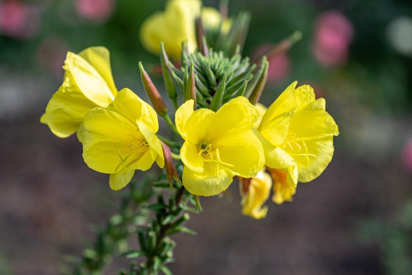 Wiesiolki Moj Piekny Ogrod Ogrody Ozdobne Rosliny Kwiaty