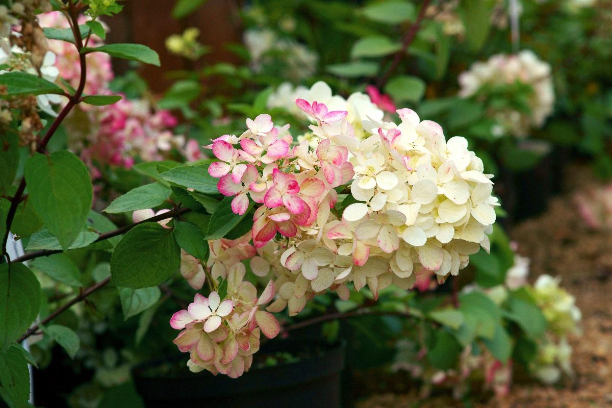 Hortensja bukietowa pink diamond