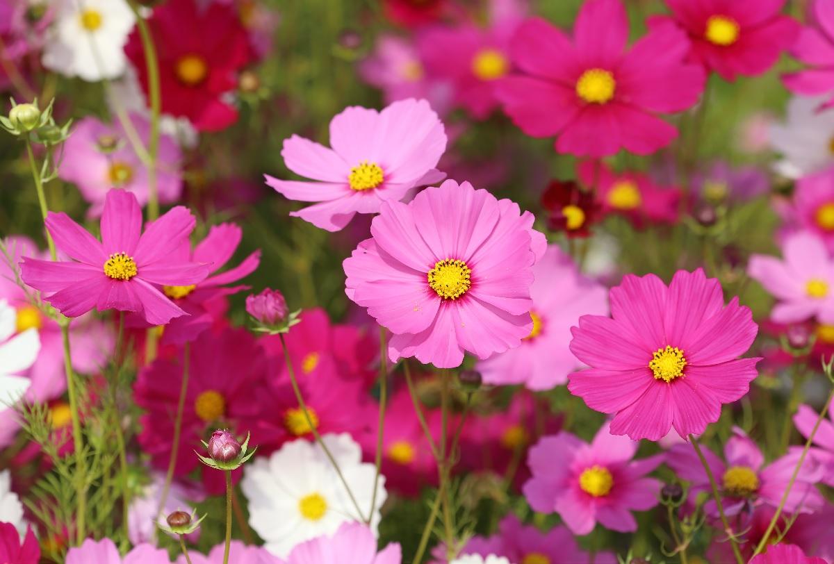 Kwiaty Jednoroczne Wysiewane Wprost Do Gruntu Ogrodnik Tomek