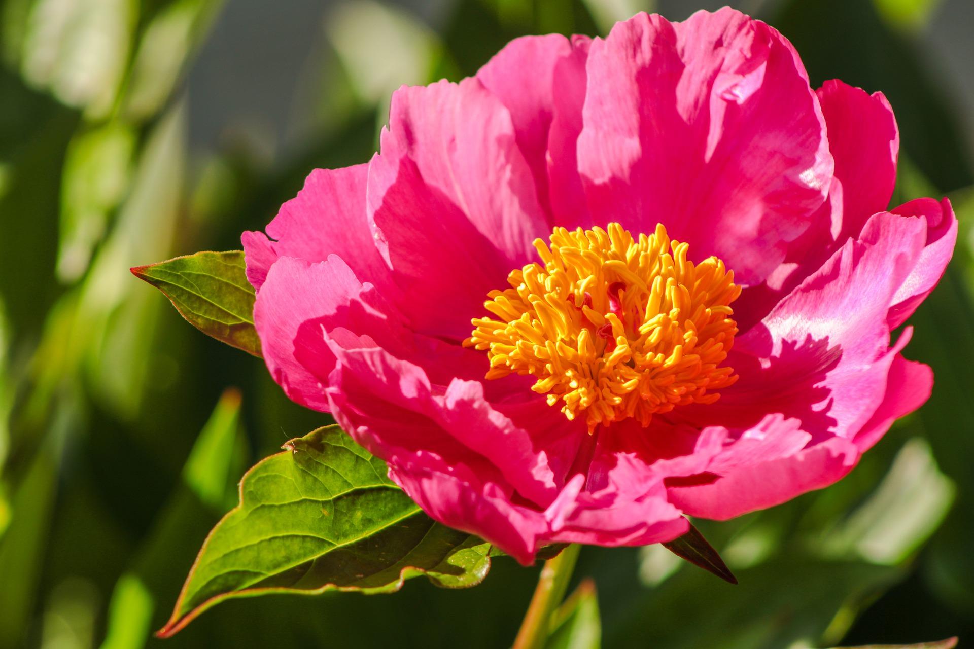 Peonia Charakterystyka Uprawa I Pielegnacja Kiedy Kwitnie Peonia I Jak O Nia Dbac Moj Piekny Ogrod Ogrody Ozdobne Rosliny Kwiaty